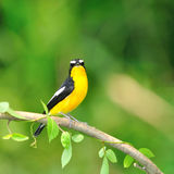 Yellow-rumped Flycatcher bird. A male Yellow-rumped Flycatcher on a branch.(Ficedula zanthopygia Royalty Free Stock Photos