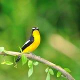 Yellow-rumped Flycatcher bird Royalty Free Stock Photos