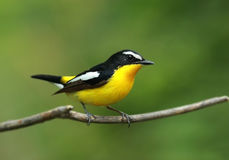 Yellow-rumped Flycatcher Stock Images