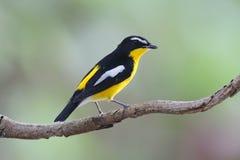 Yellow-rumped Flycatcher Ficedula zanthopygia Beautiful Male Birds of Thailand Stock Image