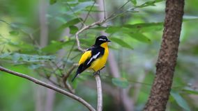 Yellow-rumped Flycatcher Ficedula zanthopygia Beautiful Male Birds of Thailand stock footage