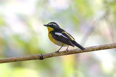 Yellow-rumped Flycatcher Ficedula zanthopygia Beautiful Male Birds of Thailand. Yellow-rumped Flycatcher Ficedula zanthopygia Beautiful Male Bird of Thailand Royalty Free Stock Photo