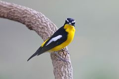 Yellow-rumped Flycatcher Ficedula zanthopygia Beautiful Male Birds of Thailand. Yellow-rumped Flycatcher Ficedula zanthopygia Beautiful Male Bird of Thailand Stock Photography