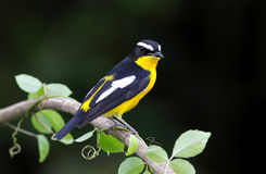 Yellow-rumped Flycatcher Ficedula zanthopygia. Birds of Thailand Royalty Free Stock Images