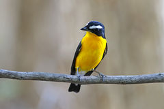 Yellow-rumped Flycatcher Ficedula zanthopygia Cute Male Birds of Thailand. Yellow-rumped Flycatcher Ficedula zanthopygia Cute Male Bird of Thailand Royalty Free Stock Images