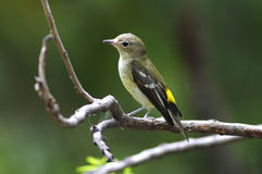 Yellow-rumped Flycatcher Ficedula zanthopygia Female Cute Birds of Thailand. Yellow-rumped Flycatcher Ficedula zanthopygia Female Cute Bird of Thailand Royalty Free Stock Photography