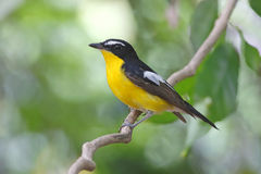 Yellow-rumped Flycatcher Ficedula zanthopygia Male Birds of Thailand Stock Photography