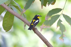 Yellow-rumped Flycatcher Ficedula zanthopygia Male Birds of Thailand Royalty Free Stock Images