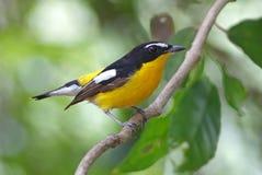 Yellow-rumped Flycatcher Ficedula zanthopygia Male Birds of Thailand Royalty Free Stock Image