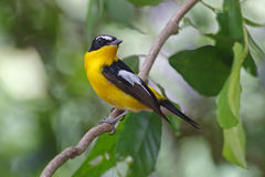 Yellow-rumped Flycatcher Ficedula zanthopygia Male Birds of Thailand Stock Images