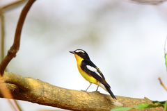 Yellow-rumped Flycatcher Stock Photos