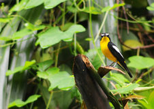 Yellow rumped  Flycatcher. The yellow Flycatcher is a species of bird in the Muscicapidae family. It is found in Bangladesh, Brunei, Cambodia, China, India Stock Photo
