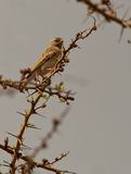 Yellow-rumped Seedeater Stock Photography