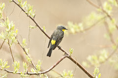 Yellow -rumped Warbler Royalty Free Stock Images