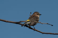 Yellow-rumped Warbler. Against blue sky royalty free stock photography