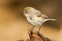 Yellow Rumped Warbler Royalty Free Stock Images