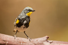 Yellow Rumped Warbler Stock Image