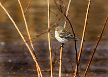 Yellow rumped warbler. Perched on marsh grass Stock Photos