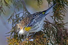 Yellow-rumped Warbler Stock Photo