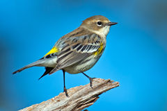 Free Yellow-rumped Warbler Stock Photos - 29898123