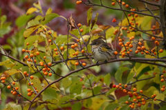 Yellow-rumped warbler. (Dendroica coronata) in berries, Jamaica Bay Wildlife Refuge, NY royalty free stock photo