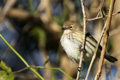 Yellow Rumped Warbler. Close up of a Yellow Rumped Warbler Royalty Free Stock Images