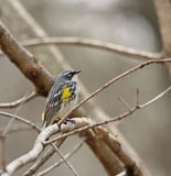 Yellow-rumped Warbler Royalty Free Stock Images