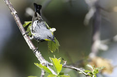Yellow-rumped Warbler (Audobon's). Audobon's male Yellow-rumped warbler in Colorado during migration season Stock Photo