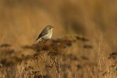 Yellow-rumped warbler Royalty Free Stock Image