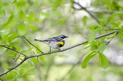 Yellow-rumped Warbler bird, Athens Georgia USA. Male Yellow-rumped Warbler bird, Setophaga coronata, in bright breeding plumage. Perched in Water Oak tree Royalty Free Stock Photo
