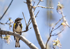 Yellow-rumped Warbler Stock Image