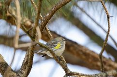 Yellow-rumped Warbler songbird, Athens, Georgia USA. Yellow Rumped Warbler Bird, Setophaga coronata, also known as Butter Butts are fall migration songbirds to royalty free stock images