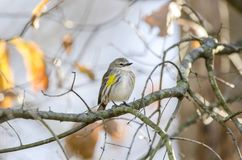 Yellow-rumped Warbler songbird, Athens, Georgia USA Royalty Free Stock Image