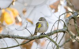 Yellow-rumped Warbler songbird, Athens, Georgia USA. Yellow Rumped Warbler Bird, Setophaga coronata, also known as Butter Butts are fall migration songbirds to stock image