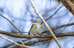 Yellow Rumped Warbler Bird. Setophaga coronata, also known as Butter Butts are fall migration songbirds to Athens, Georgia, USA. Perched in pine tree stock photo
