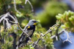 Yellow-rumped Warbler, Dendroica coronata. A male Yellow-rumped Warbler in breeding plumage, perched in a pine tree Stock Images