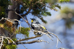 Yellow-rumped Warbler, Dendroica coronata. A male Yellow-rumped Warbler in breeding plumage, perched in a pine tree Royalty Free Stock Photography