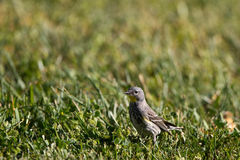 Yellow-rumped Warbler, Dendroica coronata Stock Images