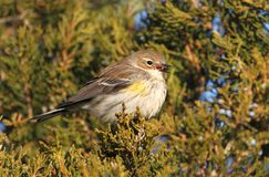 Yellow-rumped Warbler (Dendroica coronata) Royalty Free Stock Image