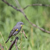 Yellow-rumped Warbler Dendroica coronata Royalty Free Stock Photos