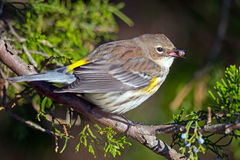 Yellow-rumped Warbler Royalty Free Stock Image