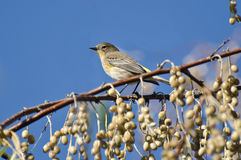 Yellow-Rumped Warbler and a Feast of Berries Royalty Free Stock Images