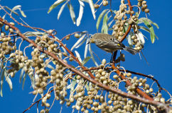Yellow-Rumped Warbler and a Feast of Berries Royalty Free Stock Photo
