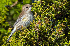 Yellow-rumped Warbler Royalty Free Stock Photos