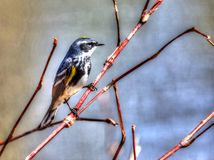 Yellow-rumped Warbler in High Dynamic Range Stock Image