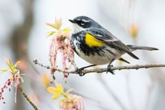 Yellow-rumped Warbler. Male Yellow-rumped Warbler perched on a branch Stock Image
