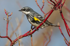 Yellow-rumped Warbler. Male Yellow-rumped Warbler perched on a Dogwood branch Stock Photography