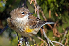 Yellow-rumped Warbler Stock Photography