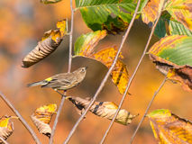 Yellow-rumped Warbler mimics leaf in fall foliage Royalty Free Stock Photo