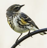 Yellow-rumped Warbler North Carolina Royalty Free Stock Images